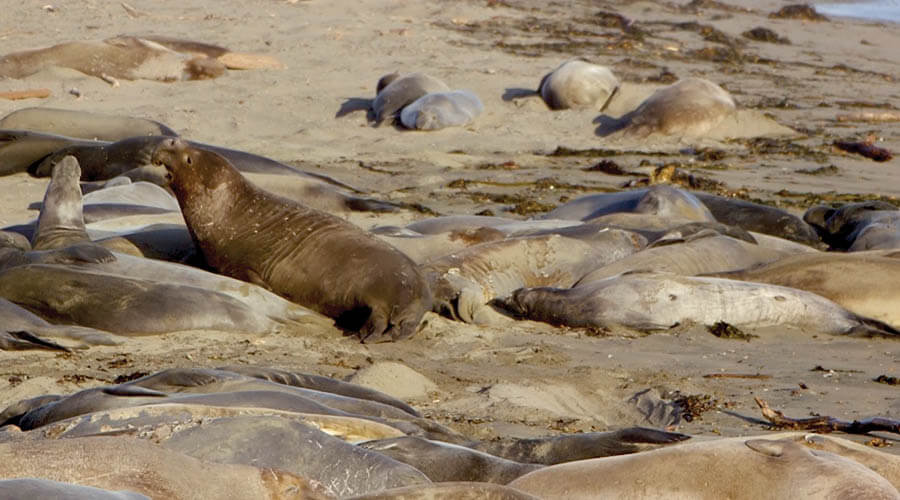 Elephant Seals in Paso Robles